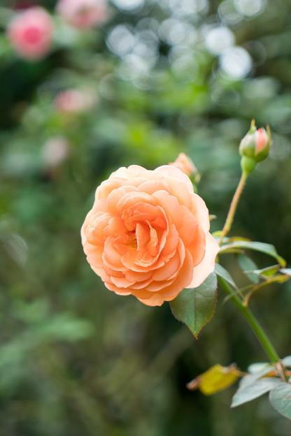 花菜ガーデン【秋バラ:ルイーズ・クレメンツ】1