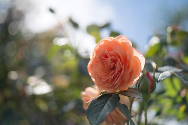 花菜ガーデン【秋バラ:ルイーズ・クレメンツ】2