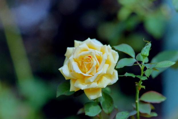 花菜ガーデン【秋バラ:ニュー・バレンシア】1銀塩