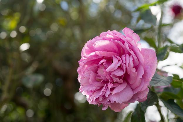 花菜ガーデン【秋バラ:イブ・ピアッチェ】2