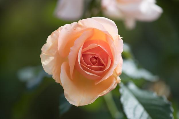 花菜ガーデン【秋バラ:フレグラント・アプリコット】2