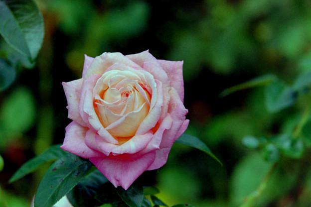 花菜ガーデン【秋バラ:シカゴ・ピース】銀塩