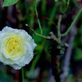 花菜ガーデン【秋バラ:快挙】銀塩