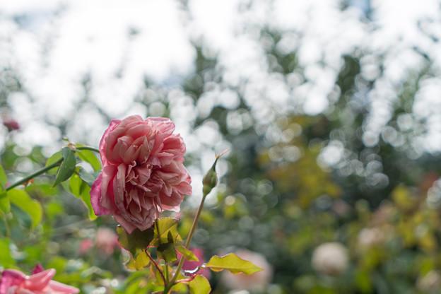 花菜ガーデン【秋バラ:アルシデュック・ジョゼフ】