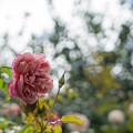 Photos: 花菜ガーデン【秋バラ:アルシデュック・ジョゼフ】