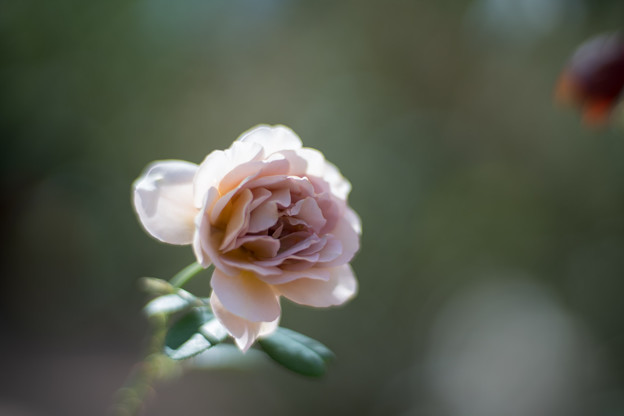 花菜ガーデン【秋バラ:カフェ・ラテ】2