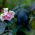 Photos: 花菜ガーデン【秋バラ:マダム・ピェール・オイラー】銀塩