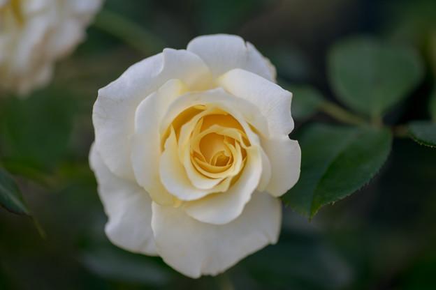 花菜ガーデン【秋バラ:和音】