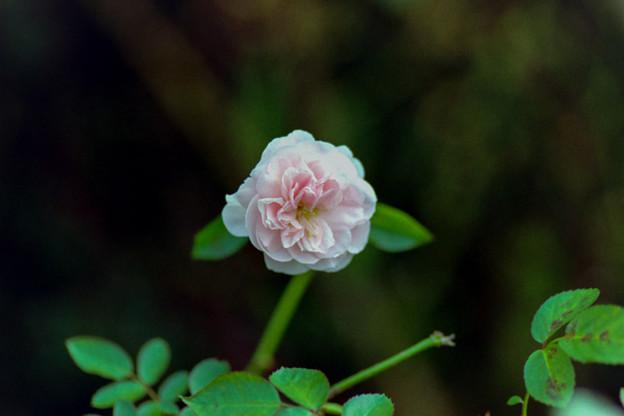 花菜ガーデン【秋バラ:マイ・グラニー】銀塩