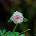 Photos: 花菜ガーデン【秋バラ:マイ・グラニー】銀塩