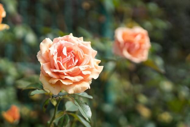 花菜ガーデン【秋バラ:アシュラム】