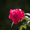 花菜ガーデン【秋バラ:カール・ヘルブスト】