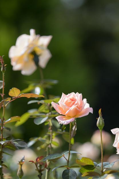 花菜ガーデン【秋バラ:シルバ】