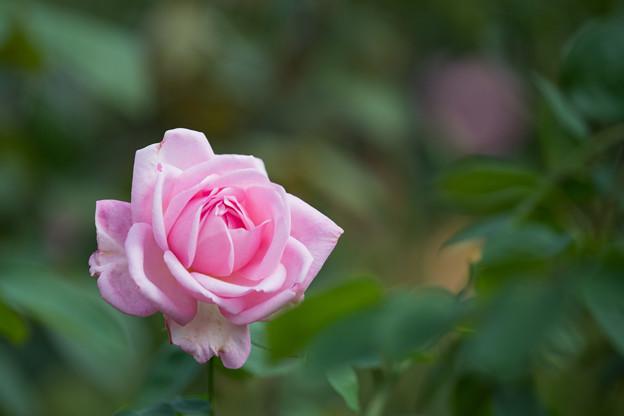花菜ガーデン【秋バラ:グレース・ドゥ・モナコ】