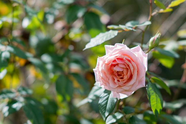 花菜ガーデン【秋バラ:ポール・ボキューズ】