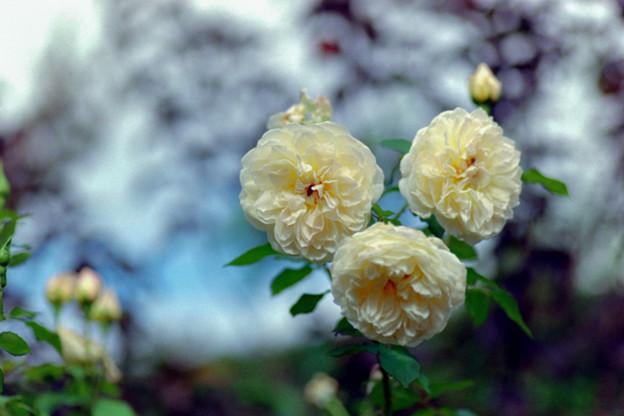花菜ガーデン【秋バラ:メアリー・マグダリン】銀塩