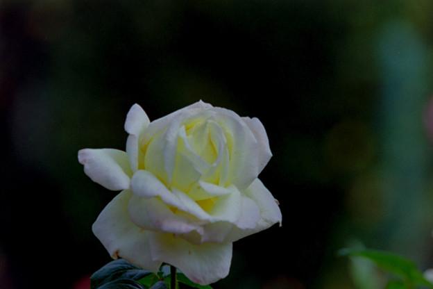 花菜ガーデン【秋バラ:ピース】銀塩