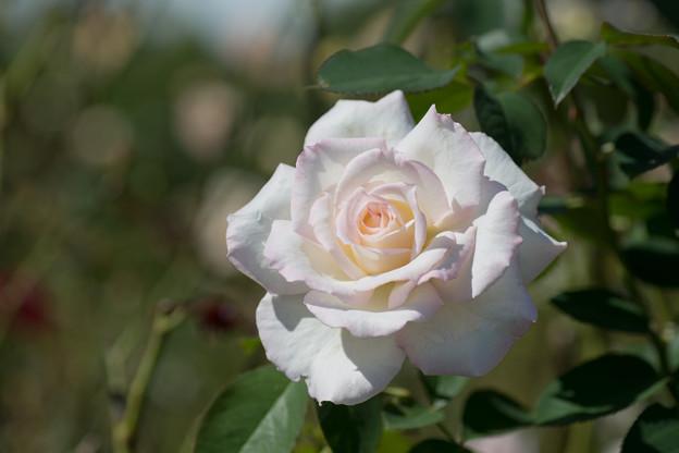 花菜ガーデン【秋バラ:シークレット】