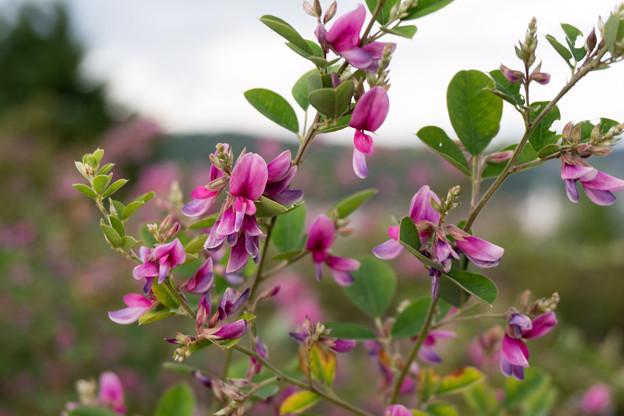 05北陸旅行1日目【兼六園:眺望台近くに咲く萩の花】