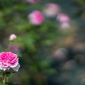 03生田緑地ばら苑【秋バラ:コティリオン】2