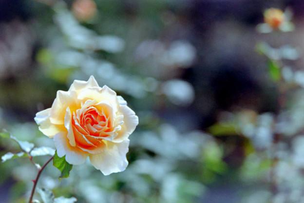 09生田緑地ばら苑【秋バラ:ジャスト・ジョイ】3銀塩