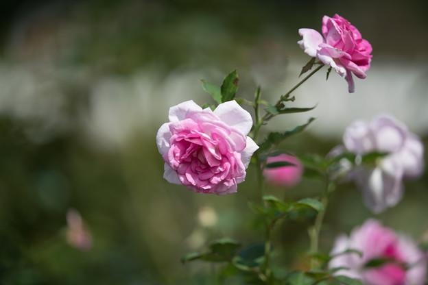05生田緑地ばら苑【秋バラ:コティリオン】4