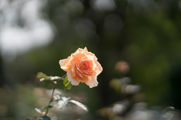 07生田緑地ばら苑【秋バラ:ジャスト・ジョイ】1