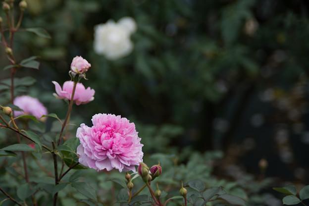 12生田緑地ばら苑【秋バラ:シスター・エリザベス】2