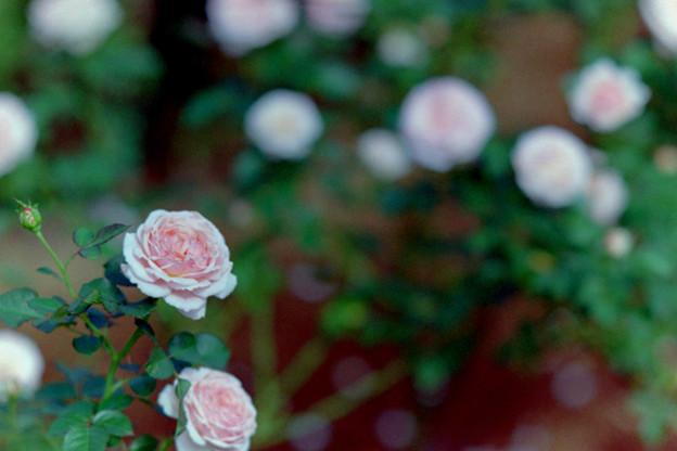 19生田緑地ばら苑【秋バラ:いわての春】1銀塩