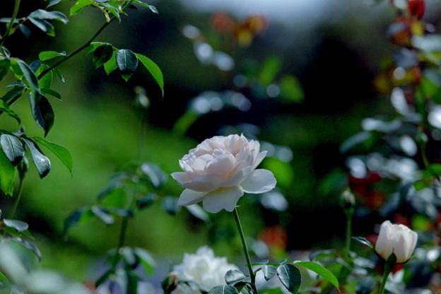 21生田緑地ばら苑【秋バラ:ピンク・シフォン】1銀塩
