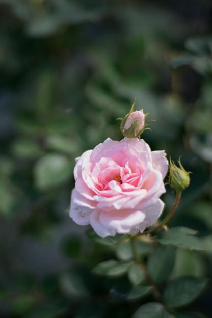 22生田緑地ばら苑【秋バラ:ピンク・シフォン】2