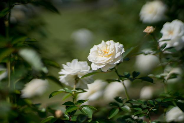 25生田緑地ばら苑【秋バラ:ファビュラス】1