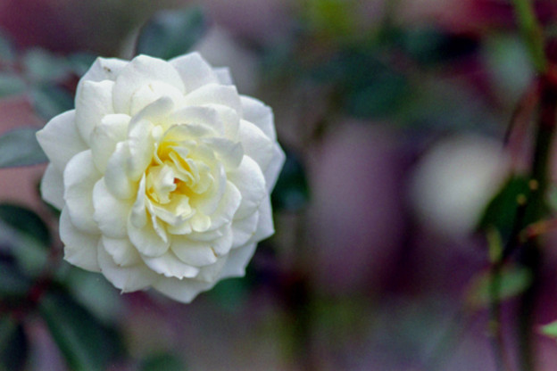 27生田緑地ばら苑【秋バラ:ファビュラス】3銀塩