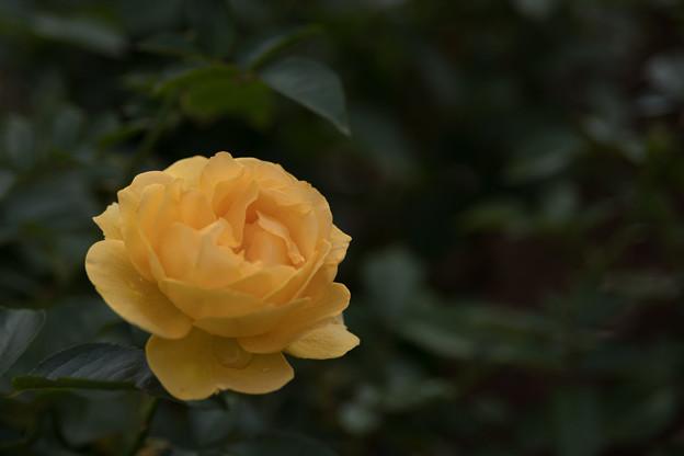 30生田緑地ばら苑【秋バラ:アブソリュートリー・ファビュラス】3
