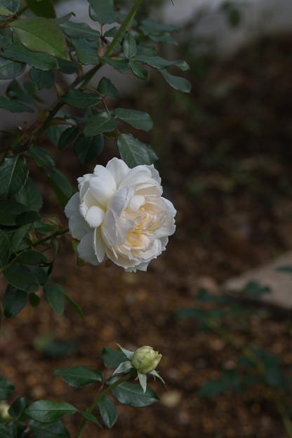 33生田緑地ばら苑【秋バラ:ボレロ】1