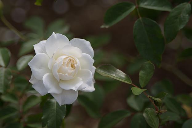 41生田緑地ばら苑【秋バラ:アイスバーグ】2