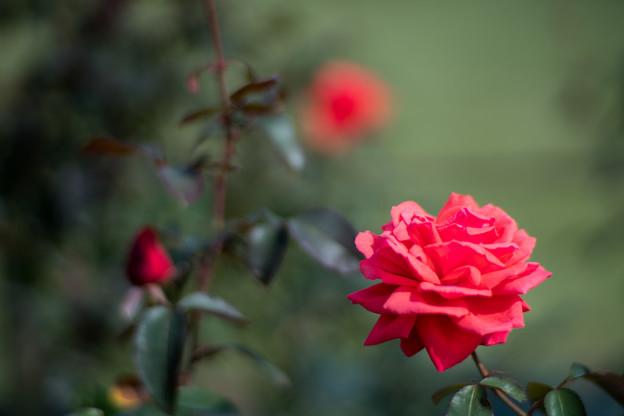 42生田緑地ばら苑【秋バラ:フラグラント・クロード】1