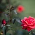 Photos: 42生田緑地ばら苑【秋バラ:フラグラント・クロード】1