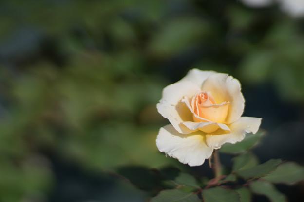 Photos: 45生田緑地ばら苑【秋バラ:グランド・プライズ】2