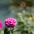 Photos: 47生田緑地ばら苑【秋バラ:オールド・ポート】