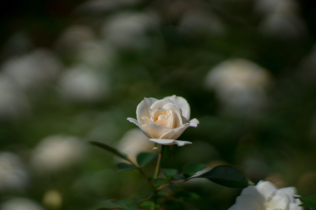 44生田緑地ばら苑【秋バラ:グランド・プライズ】1