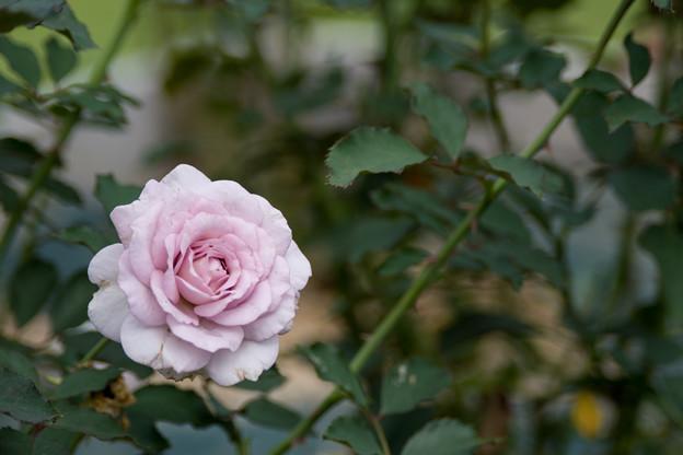 55生田緑地ばら苑【秋バラ:ニュー・ウェーブ】2