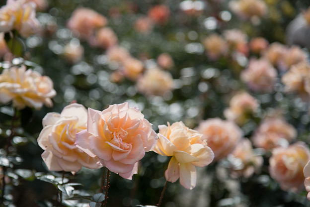03神代植物公園【秋バラ:シルバ】1