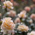 04神代植物公園【秋バラ:シルバ】2