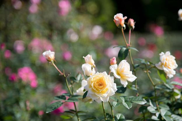 08神代植物公園【秋バラ:ムーン・スプライト】1