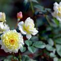 10神代植物公園【秋バラ:ムーン・スプライト】3銀塩