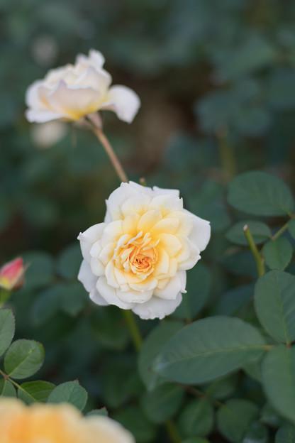 11神代植物公園【秋バラ:ムーン・スプライト】4