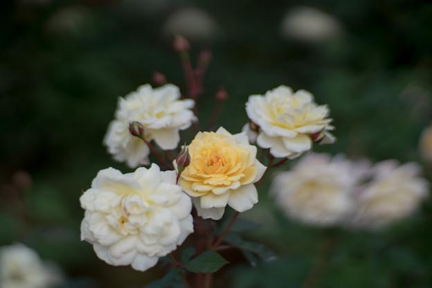 09神代植物公園【秋バラ:ムーン・スプライト】2