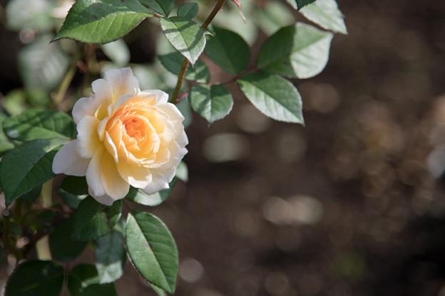12神代植物公園【秋バラ:ムーン・スプライト】5