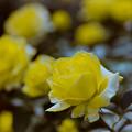 15神代植物公園【秋バラ:ファルツァー・ゴールド】3銀塩